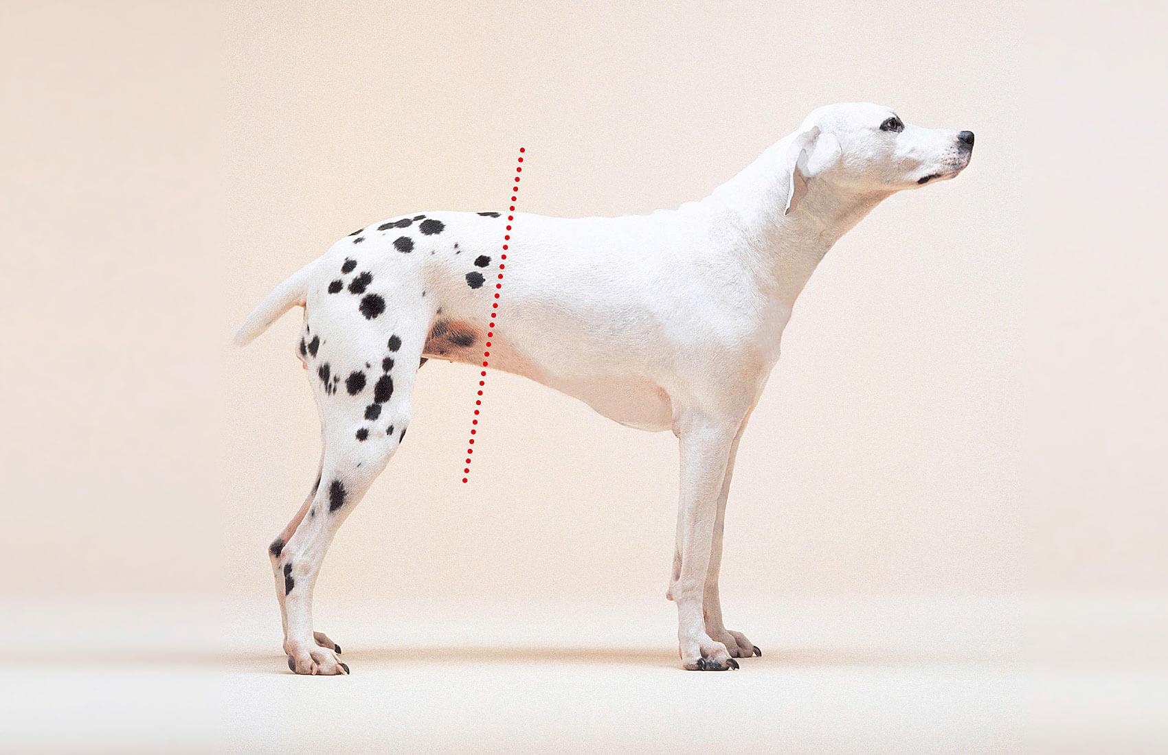 Ein Dalmatiner, der von Bauch bis Kopf fleckenfrei ist, symbolisiert die Eigenschaft der Textilfolie Translac: makellos weiß.